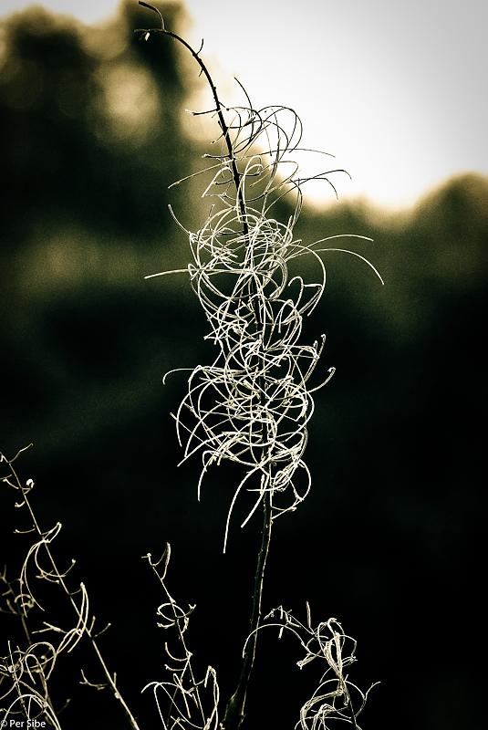 Blomst i frost