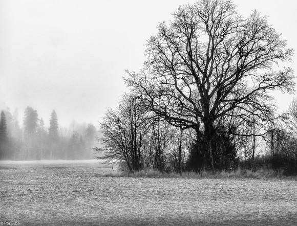 Bare et tre i tåke.. (Foto: Per Sibe)